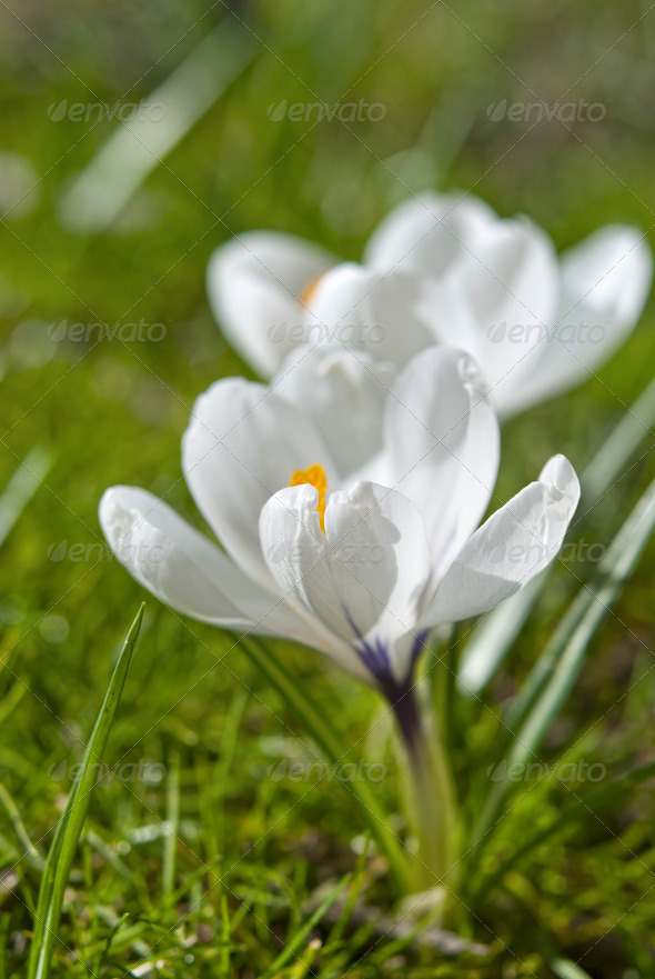 White Crocus - Stock Photo - Images