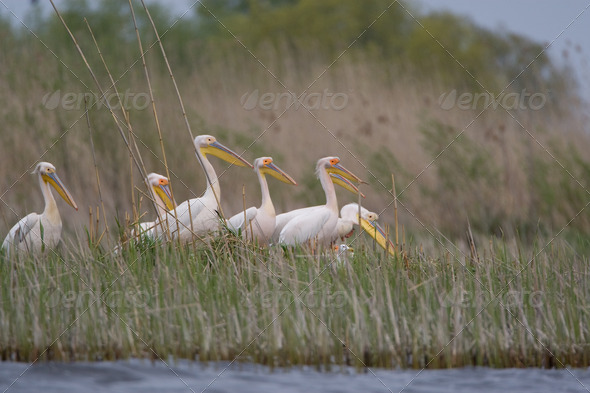 PhotoDune Pelicans 4223397