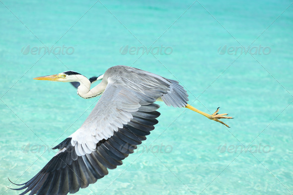 PhotoDune Heron at the beach 4229698