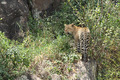 Leopard Entering Bushes - PhotoDune Item for Sale