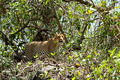 Lone Leopard in Bushes - PhotoDune Item for Sale