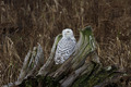 Snowy Owl - PhotoDune Item for Sale