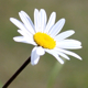 Daisy Flower - VideoHive Item for Sale