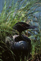 Loon on Nest - PhotoDune Item for Sale