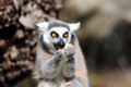 Ring-tailed lemur (Lemur catta)  eating a fruit - PhotoDune Item for Sale