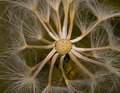 dandelion seed - PhotoDune Item for Sale