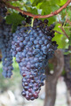 Grapes hanging on vine - PhotoDune Item for Sale