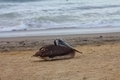 Pelican resting on the beach - PhotoDune Item for Sale