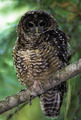 Spotted Owl  - PhotoDune Item for Sale