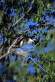 Black-crowned Night Heron   - PhotoDune Item for Sale