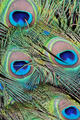 Closeup a peacock feathers (Pavo cristatus) - PhotoDune Item for Sale