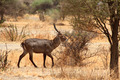 Waterbuck (Kobus ellipsiprymnus) on a walk - PhotoDune Item for Sale