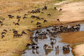Wildebeest and Zebra gather at drying river - PhotoDune Item for Sale