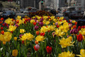 A view of a busy downtown street with blooming tulips in spring - PhotoDune Item for Sale