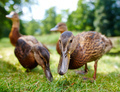 charming ducklings - PhotoDune Item for Sale