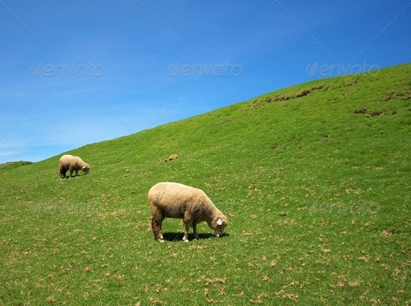 Two sheep graze on lush grass - Stock Photo - Images