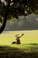 Deer lying in a forest clearing - PhotoDune Item for Sale
