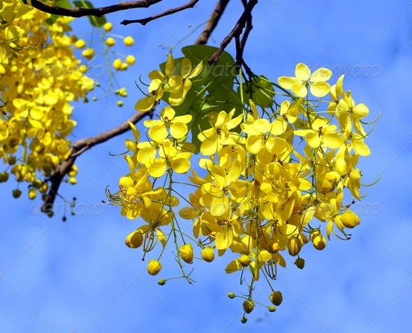 Blossoms of the Golden Chain Tree - Stock Photo - Images