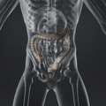 Large Intestine - PhotoDune Item for Sale