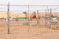 Racing camel - PhotoDune Item for Sale