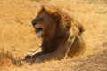 Snarling Lion - PhotoDune Item for Sale
