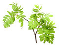Branch of rowan wgreen leaf - PhotoDune Item for Sale