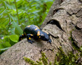 Salamandra in The Wild  (Salamandra salamandra) - PhotoDune Item for Sale