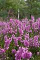 Heather (Calluna vulgaris) - PhotoDune Item for Sale