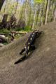 Salamandra on a rock (Salamandra salamandra) - PhotoDune Item for Sale