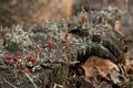 Lichen (Cladonia floerkeana) - PhotoDune Item for Sale