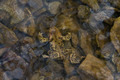 Toad in Water (Bufo bufo) - PhotoDune Item for Sale