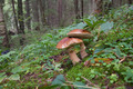Two forest mushrooms in the green grass - PhotoDune Item for Sale