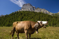 Cow in Alpe Veglia mountain pasture - PhotoDune Item for Sale