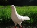 White Dove - PhotoDune Item for Sale