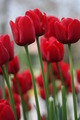 Red Long Tulips - PhotoDune Item for Sale