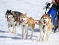 A husky sled dog team at work - PhotoDune Item for Sale