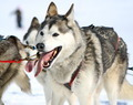 A husky sled dog at work - PhotoDune Item for Sale