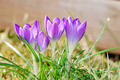 Crocus Flowers - PhotoDune Item for Sale