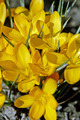 Yellow Crocus Flowers - PhotoDune Item for Sale