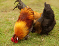 Free-range Fowls - PhotoDune Item for Sale