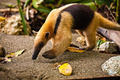 Coati Walking On Beach - PhotoDune Item for Sale