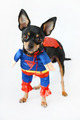 Superman Dog  - PhotoDune Item for Sale