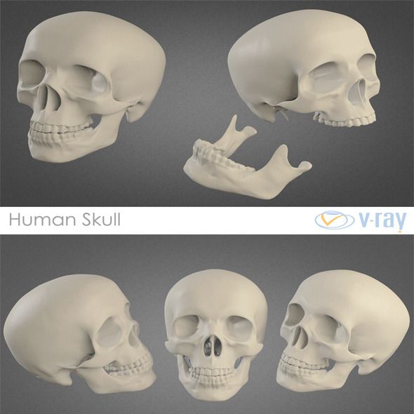 3DOcean Human Skull High Poly 4356324
