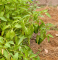 Organic Green Peppers - PhotoDune Item for Sale