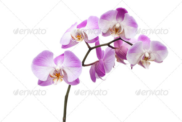 Pink Orchid Flowers - Stock Photo - Images