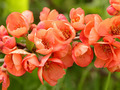 The quince branch with red flowers - PhotoDune Item for Sale