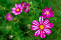 Cosmos flower - PhotoDune Item for Sale
