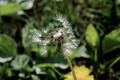 Dandelion - PhotoDune Item for Sale