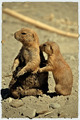 Meercat and its baby - PhotoDune Item for Sale