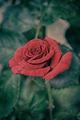 Red rose closeup - PhotoDune Item for Sale